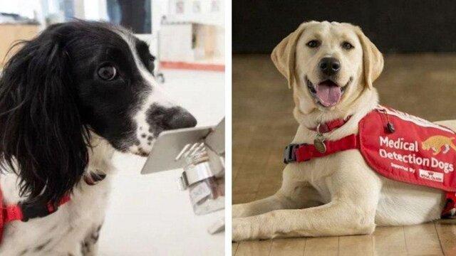 سگ ها، آلودگی کرونا را تشخیص می دهند