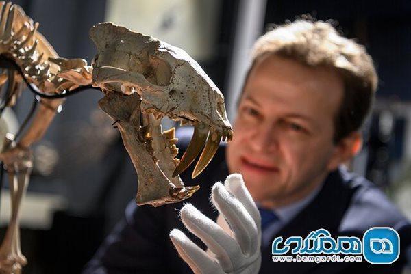 به مزایده گذاشته شدن یک اسکلت 37 میلیون ساله